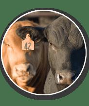 Cattle Heat Load Toolbox